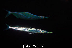 Needle fish reflection by Gleb Tolstov 